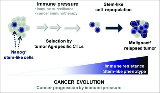 Vaccination-mediated selection and enrichment of Nanog+ tumor cells resistant to antigen-specific cytotoxic T lymphocytes. In this model, the tumor initially comprises a major population of Nanog− cells and a minor population of Nanog+ cells. Immune selection—first instigated by natural host immunosurveillance and then reinforced by vaccination—drives the preferential survival and expansion of the cytotoxic T lymphocyte (CTL)-resistant Nanog+ cancer cells. These Nanog+ malignant cells, in turn, mediate the immune-resistant and stem-like phenotype of the tumor and drive therapeutic failure and disease progression.