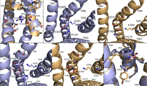 DrmMS-Rs molecular switches.DrmMS-Rs contained a unique ionic lock and novel 3–6 lock that stabilized the inactive state of the receptor. Residues involved in the ionic lock (top left), 3–6 lock (top right), transmission switch (bottom left), and tyrosine toggle switch (bottom right) are shown for DrmMS-R1 (blue) and DrmMS-R2 (gold). The receptors are shown as ribbons with TM1–7 labeled.