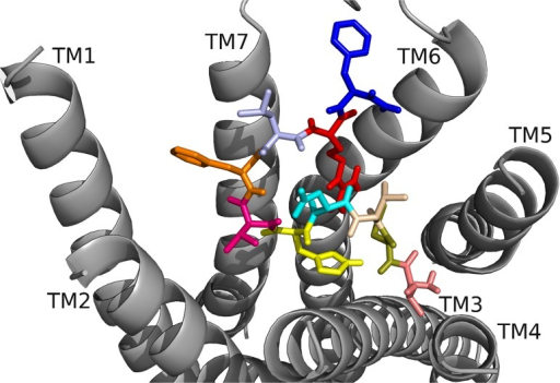 DrmMS docked to DrmMS-R2.The DrmMS ligand is shown docked to DrmMS-R2; see Fig. 4 for notation of the amino acids. Residues in the C-terminal region, particularly F7 and F10, made strong hydrophobic and aromatic contacts. D2 and R9 formed an ionic network near TM6 and the N terminus filled the remainder of the binding pocket.