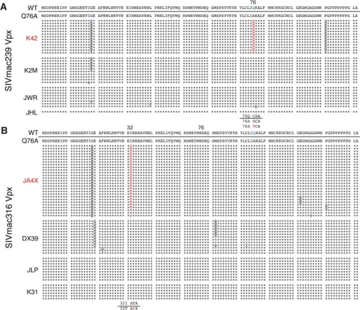Alignment of Vpx amino acid sequences amplified from the plasma of monkeys inoculated with SIV Vpx X-Q76A mutants.SGA plus sequencing was used to generate vpx gene sequences present in the plasma of (A) SIVmac239 X-Q76A infected animals (K42, K2M, JWR, and JHL) and (B) SIVmac316 X-Q76A infected animals (JA4X, DX39, JLP, and K31) at week 35 PI. The sequence of WT SIVmac Vpx is shown at the top and the animal identifications are indicated on the left. Amino acids highlighted in red represent changes conferring putative revertant phenotypic changes. Amino acid substitutions in black are not thought to contribute to revertant phenotype because when present alone and in the absence of a change in the starting Q76A Vpx mutation (e.g. in the K2M virus), they fail to restore WT properties. The nucleotide changes corresponding to the putative revertant amino acid substitutions at Vpx residue 76 or residue 32 are shown at the bottom of each panel.
