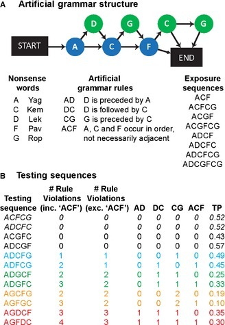 Artificial grammar (AG) and stimulus sequences. (A) The AG contains five unique elements. Sequences (strings of nonsense words) consistent with the AG are generated by following any path of arrows from START to END. Violation sequences do not follow the arrows. The AG generates consistent sequences; however, all legal sequences must follow any of a number of 'rules', see text. The AG was used to generate eight exposure sequences, which follow all of these rules. Each experiment began with an exposure phase where the human or monkey participants passively listened to the habitation sequences for 5 or 30 min, respectively. (B) Four 'consistent' testing sequences (black) were generated from the AG. The first two of these sequences (in italics) were also presented in the exposure period (familiar), while the second two were novel to the testing phase of the experiments. Each consistent sequence was presented twice in each testing run, to balance the number of consistent and violation sequences presented. Eight violation sequences were generated, including different rule violations and a range of transitional probabilities (TPs; see Materials and methods). The sequences were designed in four pairs (denoted by colours). These pairs were matched as closely as possible for the rule violations they included and for their average TPs. Moreover, the second sequence in each pair, but not the first, violated the non‐adjacent, long‐distance, 'ACF' rule.