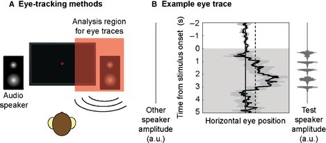 Details of macaque eye‐tracking approach. (A) Schematic of macaque eye‐tracking experiment, adapted from Wilson et al. (2013). (B) Average eye trace (± SEM) from an example session in one monkey. Values to the right of the vertical midline represent eye movements toward the audio speaker (left or right) that presented the test sequence. The 2 SD baseline (based on the variance in eye movements during the 2 s baseline period) is shown as a dashed line. The duration for which the eye position exceeded this threshold during the 5 s stimulus period (shaded area) was calculated.