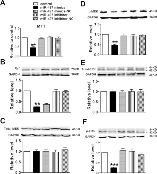 Overexpression of miR-497 influenced the proliferation of cultured HUVECs.(A) Cell proliferation was evaluated by the MTT assay; (B–F) Protein levels of Raf, Total-MEK, p-MEK, Total-ERK and p-ERK were determined by western blotting assay. Data were expressed as mean ± SEM, n = 3; **P < 0.01 or ***P < 0.001 vs. control group.