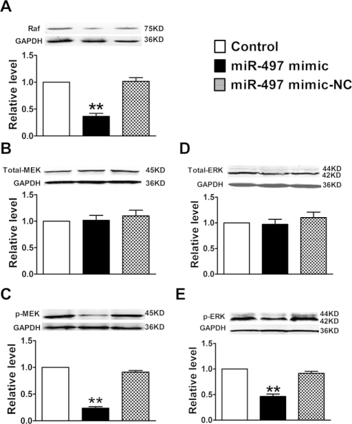 Effects of miR-497 overexpression on Raf/MEK/ERK signaling pathway in mouse breast tumor model.Proteins expression of Raf, Total-MEK, p-MEK, Total-ERK and p-ERK were determined by western blotting assay. Data were expressed as mean ± SEM, n = 3; **P < 0.01 vs. control group.