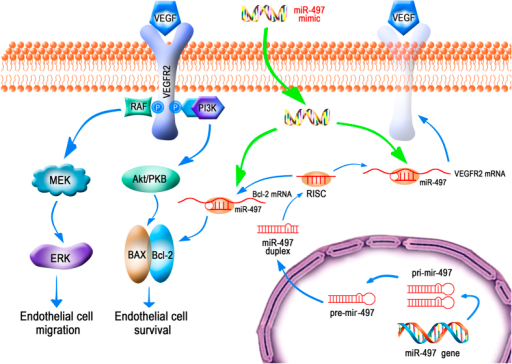 Schematic illustrations explain the possible targeting and signalling mechanisms by which miR-497 produces anti-angiogenesis effects in in vitro and in vivo model.Increased miR-497 represses angiogenesis by targeting VEGFR2, which lead to decreases in the activation of both PI3K/AKT and Raf/MEK/ERK signaling pathways. In addition, miR-497 may induce endothelial cells apoptosis by directly down-regulating anti-apoptotic factor Bcl-2 expression. And this schematic diagram was drawn by Yingfeng Tu and Xiaowei Ma.