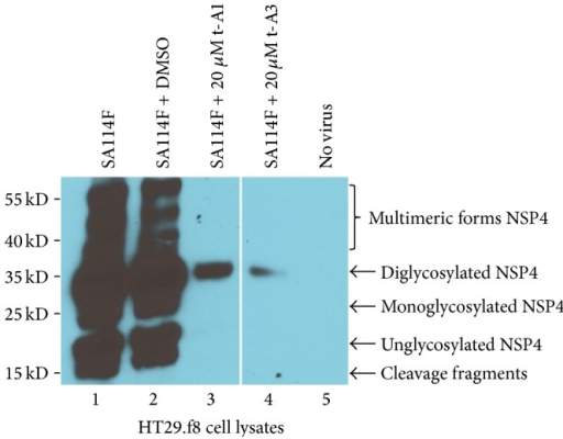 Western blot analysis of HT29.f8 cell lysates. Five micrograms of HT29.f8 cell lysates was separated on a 12.5% SDS-PAGE, electroblotted onto nitrocellulose membranes, probed with rabbit anti-NSP4150–175 peptide-specific and goat anti-rabbit HRP-conjugated IgG, and visualized with Super Signal West Pico chemiluminescent substrate (Pierce) followed by exposure to Kodak X-OMAT film. (Lane 1) RV-infected HT29.f8 cells and (Lane 2) RV-infected HT29.f8 cells with 0.02% DMSO, respectively, show cleavage fragments and unglycosylated, mono-, diglycosylated, and multimeric forms of NSP4. (Lane 3) RV-infected HT29.f8 cells with 20 μM t-A1 and (Lane 4) RV-infected HT29.f8 cells with 20 μM t-A3 only show the diglycosylated form of NSP4. (Lane 5) HT29.f8 with no virus showed NSP4 banding pattern.