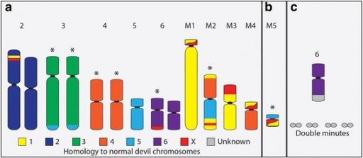 DFT chromosomes and their homology to normal devil chromosomes. a Chromosomes present in all strains. b M5 is present in strains 2 – 4. c Chromosome 6 in strain 4 has had an addition to the long arm, the origin of which is currently unknown. Variable numbers of double minutes are also present in strain 4. * denotes chromosomes with variations within and between strains [8]