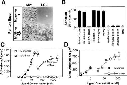 Characterization of  local valency in promoting  LCL adhesion via integrins.  (A) LCL or M21 cells were  assessed for attachment to  wells coated with either recombinant adenovirus penton base (PB) protein (10  nM), a pentamer, or a monomeric PB construct (100 nM)  containing the integrin-binding domain, and phase– contrast images captured  at 200× magnification. (B)  LCL adhesion to multimeric  PB was assessed in the presence of function-blocking integrin-specific monoclonal  antibodies specific to β1  (P4C10), β2 (TS1/18), αvβ3  (LM609), αvβ5 (P1F6),  α4β1/β7 (P4C2) (25 μg/ml),  or soluble antagonists of integrin adhesion including a  cyclic peptide antagonist (cyclo Arg-Gly-Asp-dPhe-Val)  (5 μM), control antagonist (cyclo Arg-βAla-Asp-dPhe-Val) (5 μM), EDTA (10 μM), and both monomeric and multimeric forms of PB  in solution (10 μM). (C) The adhesion of LCL to pentameric PB was determined by attachment assay as described above, as a function  of increasing coating concentration of pentavalent or monovalent PB. To rescue attachment to monomeric PB, LCL were treated with  PMA (20 ng/ml) immediately before assay. (D) The density of native integrin-binding sites on BSA-blocked, substrate-coated adhesion  assay plates was assessed on monomer and pentamer coated wells by the specific binding of radio-iodinated mAb DAV-1 (0.5 μg),  which recognizes the Ile-Arg-Gly-Asp-Thr-Phe-Ala-Thr sequence found in the integrin-binding domain of PB. Data is expressed as the  mean ± SE of triplicate determinations from one of three separate experiments.