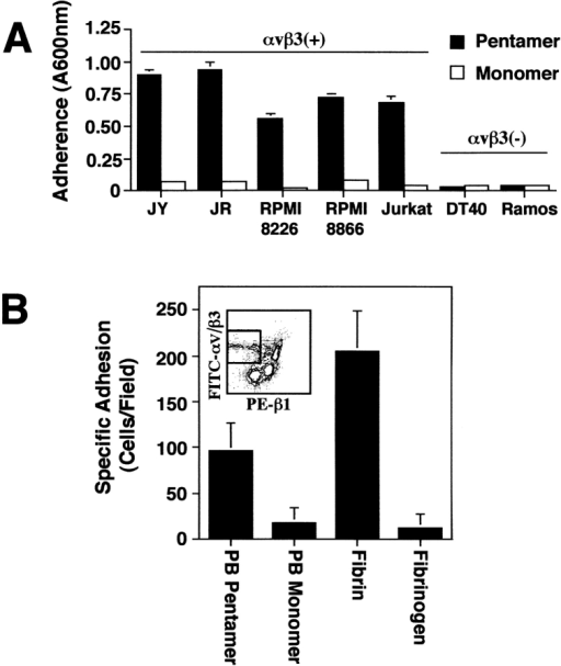 Integrin αvβ3 mediates selective attachment to pentameric PB. (A) The lymphoblastoid cell lines (LCL) JY and JR,  as well as the lymphoid tumor cell lines RPMI 8226, RPMI 8866,  and Jurkat (all αvβ3+), and the cell lines DT40 and Ramos  (αvβ3−) were assessed for attachment to pentameric or monomeric PB by adhesion assay as previously described. (B) Human  peripheral blood mononuclear cells were sorted for positive expression of αvβ3 (FITC), and low expression of β1 (PE) (gated  box, inset) allowing for depletion of monocyte contamination  during purification of αvβ3-expressing lymphocyte populations.  Sorted lymphocytes were assessed for attachment to penton base  coated (10–20 nM) or fibrin/fibrinogen coated (100 nM) chamber  slides (105 cells/slide) and attached cells per field were quantified  by direct counting. Data are expressed as the mean specific attachment ± SE from six fields counted. A representative experiment from three experiments is shown.
