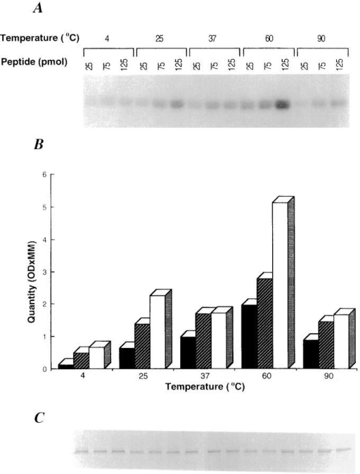 gp96 binds to peptides in vitro. gp96 (10 pmol) was incubated with increasing concentrations of radioiodinated peptide A (25, 75,  and 125 pmol) for 10 min at different temperatures in 20 μl reaction  buffer, followed by 30 min at room temperature. The reaction was terminated by mixing with sample buffer (0.1% SDS, 20% glycerol, and 5%  bromophenol blue) and analyzed by SDS-PAGE. (A) Autoradiogram after 48-h exposure. (B) Densitometric quantification of results in A. An aliquot of each reaction was analyzed in parallel by SDS-PAGE and silver  staining (C).