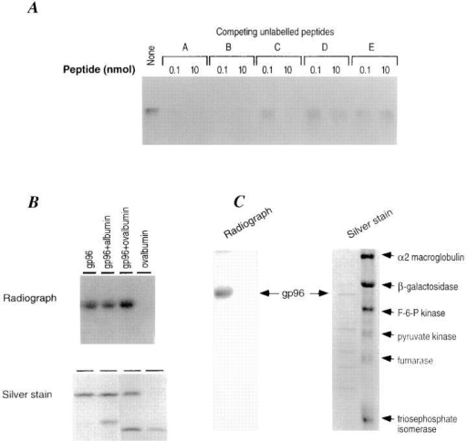 Specificity of peptide binding by gp96. (A) Unlabeled peptides A, B, C, D, and E (0.1 and 10 nM) were used to compete with labeled peptide A (25 pmol) for the binding to gp96 (10 pmol). The sequences of these peptides are described in the text. The binding assay  described in the legend to Fig. 1 was used, except that binding was carried  out at 50°C. (B) Albumin and ovalbumin do not compete with gp96 for  binding to peptide A. gp96 (10 pmol) was incubated with 25-pmol radiolabeled peptide A and analyzed as in the legend to Fig. 1. Albumin and  ovalbumin (10 pmol each) were included in the binding assay. The autoradiogram and the silver stained gel are shown. (C) A partially degraded  preparation of gp96 and a mixture of six purified proteins (i.e., α–2 macroglobulin, β-galactosidase, fructose-6-phosphokinase, pyruvate kinase,  fumarase, and triosephosphate isomerase) were tested for binding to iodinated peptide A. Only the intact gp96 molecule is able to form a stable  complex with radioactive peptide A. None of the other six proteins tested  are able to bind peptide A.