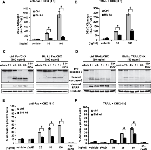 Bid depletion abrogates the death receptor-mediated apoptotic pathway.Control and HeLa Bid kd were pre-incubated with the pan-caspase inhibitor zVAD-fmk (100 µM) for 1 h followed by treatment for the specified times with CHX (1 µg/ml) in combination with an agonistic Fas antibody or recombinant TRAIL at the indicated concentrations. Controls were treated with vehicle. A, B) Caspase-3 like activity was measured by cleavage of the fluorogenic substrate Ac-DEVD-AMC. Data are means+/−SD from n = 3 separate experiments. # p<0.05 difference from control cells (Ctrl). C, D) Cells were treated as indicated and lysates were subjected to Western blotting with a polyclonal caspase-3, a monoclonal Poly-ADP-Ribose Polymerase (PARP) antibody and a monoclonal α-tubulin antibody. E, F) Cells were treated as indicated and apoptosis was assessed by flow cytometric evaluation of Annexin-V FITC conjugated binding to phosphatidylserine in non-permeabilized cells. Data are means+/−SD from n = 3 separate experiments. # p<0.05 difference from control cells (Ctrl).