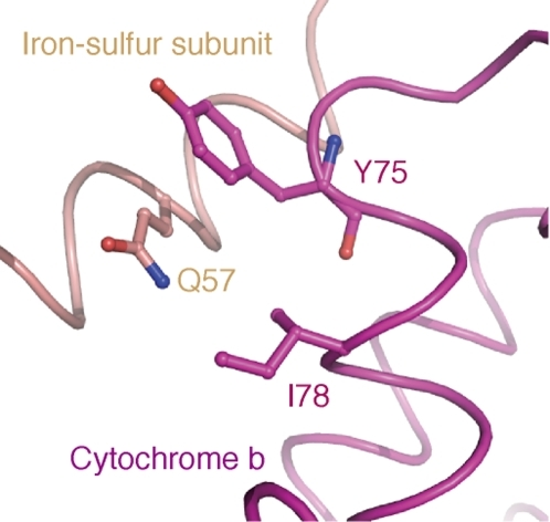 3-dimensional structure around Ile 78 position (helix B) in bovine Cytb.I78, Q57 and Y75 denote three AA positions of Ile 78 (helix B), Gln 57 (helix A) and Try 75 (helix B) in bovine Cytb, respectively.
