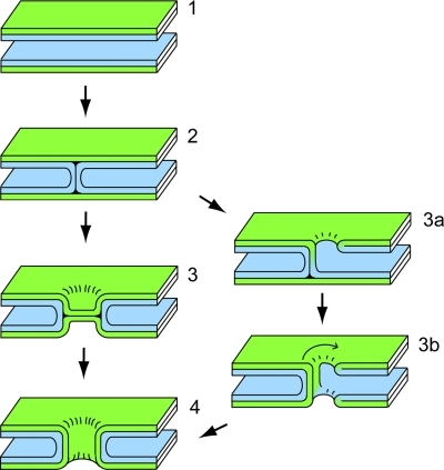 Models for lipid rearrangements leading to the formation of a fusion pore. The left pathway depicts the classical model for membrane fusion via rupture of a hemifusion diaphragm. Membranes are brought into close apposition (1), the two cis leaflets (blue) fuse to form a hemifusion stalk (2), the stalk expands forming a hemifusion diaphragm in which trans leaflets (green) are in contact (3), and rupture of the hemifusion diaphragm results in a fusion pore (4). In contrast to the classical model for membrane fusion, an alternative pathway, via intermediates drawn on the right, does not always maintain compartmental identity. Formation of a hemifusion stalk results in the nucleation of holes adjacent to the stalk (3a and 3b), which encircles the holes to form a fusion pore.