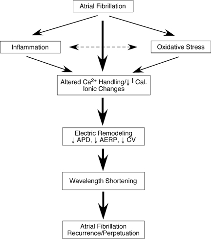The potential role of inflammation and oxidative stress in atrial fibrillation-induced electrical remodeling.  Ical-L-type Ca2+ current; ADP-action potential duration; AERP-atrial refractory period; CV-conduction velocity.  Reproduced with permission from Korantzopoulos P, Kolettis T, Siogas K, Goudevenos J. Atrial fibrillation and electrical remodeling: the potential role of inflammation and oxidative stress. Reproduced with permission from Med Sci Monit. 2003;9:RA225-9.