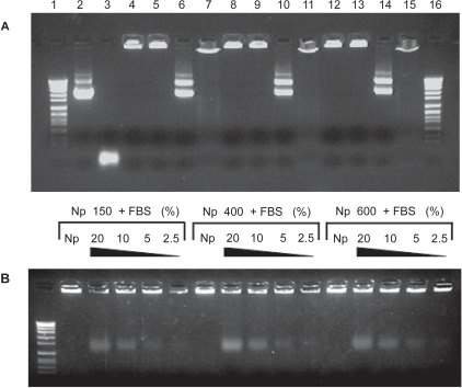 Electrophoresis of chitosan-DNA nanoparticles to determine effective encapsulation, DNAse I protection (digestion with DNAse I), plasmid integrity following release (digestion with chitosanase), and release after charge interaction disruption with NaOH or FBS. (A) Lanes 1 and 16: Molecular weight marker VII; Lane 2: pX2-Luc plasmid DNA; Lane 3: + DNAse I; Lane 4-8-12: nanoparticles composed of 150, 400 or 600 kDa chitosan respectively; Lane 5-9-13: + DNAse I; Lane 6-10-14: + chitosanase; Lane 7-11-15: + NaOH. (B) Nanoparticles composed of 150, 400, or 600 kDa chitosan incubated 2 h (37 °C) with FBS at untreated 20%, 10%, 5%, and 2.5%, respectively.