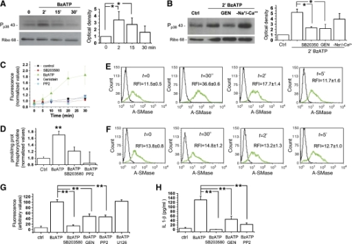 Src kinase-dependent phosphorylation of p38 MAPK mediates P2X7-induced A-SMase activity. (A) Time course of p38 MAPK phosphorylation in astrocytes exposed to 100 μM BzATP for 2, 15 and 30 min. Right panel shows the quantitative analysis of P-p38 immunoreactivity normalised to ribophorin from three independent experiments. (B) Western blot analysis of cortical astrocytes exposed for 2 min to 100 μM BzATP in the presence/absence of the p38 MAPK inhibitor SB-203580 (400 nM) or the kinase inhibitor genistein (10 μM). Astrocytes were also exposed to BzATP in the absence of extracellular Na+ and Ca2+ and high extracellular K+ ions to inhibit ions influx. Right panel shows the quantitative analysis of P-p38 immunoreactivity normalised to the astrocyte marker ribophorin. (C) Time course analysis of Yo-PRO-1 uptake in astrocytes exposed to 100 μM BzATP in the absence or in the presence of the inhibitors of p38 MAPK phosphorylation pathway. Yo-PRO-1 uptake is sensitive to the inhibition p38 MAPK phosphorylation (n=3; P<0.01, ANOVA analysis, Dunnett's method). (D) A-SMase activity triggered by 100 μM BzATP treatment in the presence/absence of the p38 MAPK inhibitor SB-203580 (400 nM) or the src-kinase inhibitor PP2 (10 μM) (n=3; asterisks: P<0.01 versus control) normalised as described in Figure 3. (E, F) A-SMase exposure onto the PM induced by 100 μM BzATP treatment in the presence (E)/absence (F) of the p38 MAPK inhibitor SB-203580 (400 nM) measured by FACS in intact N9 microglial cells. The relative fluorescence intensity (RFI) was calculated versus negative controls. The results shown are from one experiment representative of three reproducible ones. The RFI values are determined as described in Figure 3. (G) Quantitative analysis of MPs pelleted at 10 000 g from the supernatants of FM1-43-labelled astrocytes exposed to 100 μM BzATP in the presence/absence of inhibitors of p38 MAPK phosphorylation pathway. FM1-43-labelled MPs pelleted at 10 000 g from the supernatants of astrocytes exposed to BzATP in the presence/absence of inhibitors of p38 MAPK phosphorylation pathway. (H) ELISA for IL-1β on supernatant conditioned for 30 min by 100 μM BzATP-stimulated astrocytes in the presence/absence of inhibitors of p38 MAPK phosphorylation pathway.