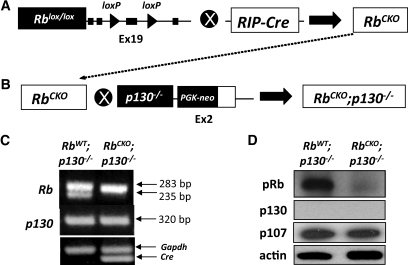 Simultaneous inactivation of Rb and p130 genes in double-mutant mice. A: Generation of β-cell–specific pRb conditional knockout mice (RbCKO) has been previously described by our group (14). Mice that contain loxP sequences surrounding exon 19 of the RB gene were crossed with RIP-Cre mice resulting in excision of the flanked region (18) B: The RbCKO mice were crossed with p130−/− mice to obtain RbCKO;p130−/− double-mutant mice. C: PCR analysis of the Rb 283-bp product represents the floxed allele whereas the 235-bp allele represents the wild-type Rb gene. The 320-bp product represents mutant p130. The lower panel indicates uniform amplification of the Gapdh housekeeping standard and the Cre transgene. D: Immunoblot analysis of pRb and p130 protein in isolated pancreatic islets reveals deficiency of the two proteins in RbCKO;p130−/− double-mutant animals.