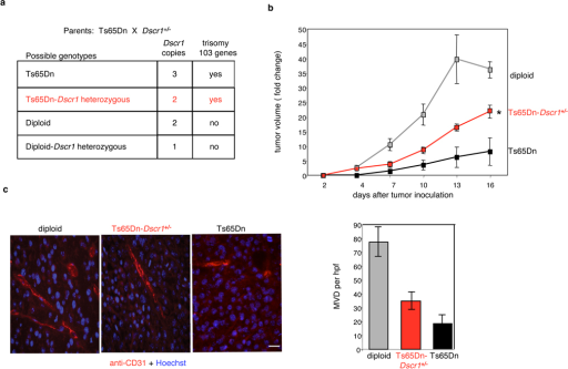 Trisomic expression of Dscr1 is necessary for significant suppression of tumor growth in the Ts65Dn Down syndrome mouse model(a) Possible genotypes arising from mating Ts65Dn and Dscr1+/− mice. (b) Suppression of B16F10 tumor growth in Ts65Dn Down syndrome mice is relieved upon loss of the third copy of Dscr1 (Ts65Dn-Dscr1+/−). Values are mean± sem, n=4–8 per group, *p<0.01. (c) Microvessel density (MVD) per high-powered field (hpf) is quantified by anti-CD31 immunofluorescence of tumors harvested from the indicated mice at comparable volumes (200–400 mm3). Bar, 20 µM. Values are mean ± sem.
