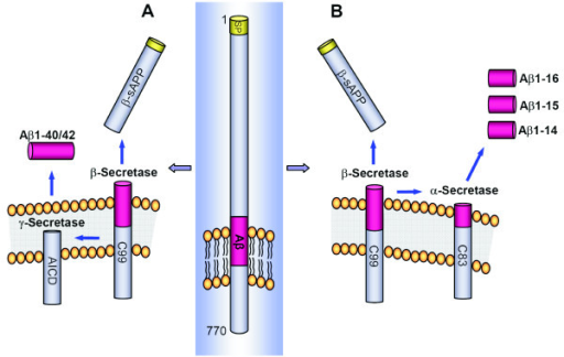 Schematic drawing of APP and generation of Aβ isoforms | Open-i