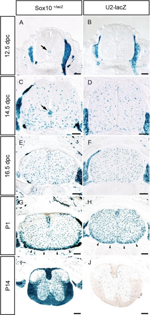 The U2-lacZ transgene is expressed in embryonic and early post-natal spinal cord. LacZ expression was detected colorimetrically using X-gal substrate on transverse sections from the forelimb level of Sox10lacZ/+ (A, C, E, G and I) and age-matched U2-lacZ (B, D, F, H and J) mice at 12.5 dpc (A and B), 14.5 dpc (C and D), 16.5 dpc (E and F), P1 (G and H) and P14 (I and J). The pMN domain as the main origin for spinal cord OLPs is highlighted in A and C by an arrow. Arrowheads in G and H point to the marginal zone. No lacZ staining was detected in wild-type littermates under identical conditions. Size bars correspond to 200 µm.