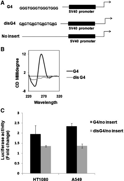 Incorporation of the G-quadruplex motif and not sequence per se induces promoter activity. (A) Scheme showing the constructs made to insert either a G-quadruplex-forming (G4) or disrupted G4 (disG4) as control sequence upstream of SV40 promoter in a luciferase reporter vector. (B) CD spectra of oligonucleotide used for G4 motif and disG4 showing disruption of the quadruplex motif in case of disG4. (C) Luciferase reporter activity of clones harbouring G4 or disG4 in human cell lines with respect to the no-insert construct. All experiments were done in triplicate using Renilla luciferase activity as transfection control.