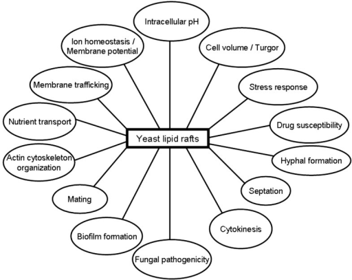 Putative Involvement Of Lipid Rafts In Different Yeast