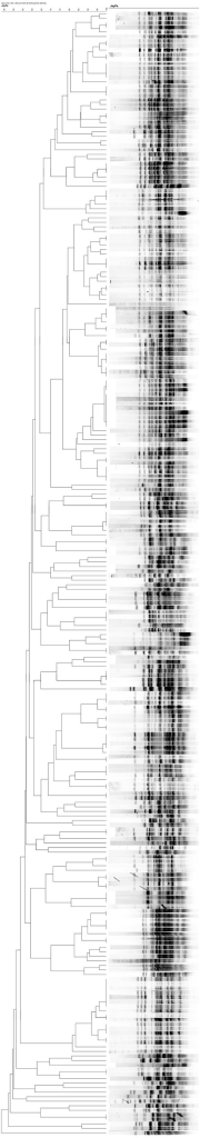 A fingerprinting map showing the percentage of similarity among 187 strains of CR-MDR P. aeruginosa.
