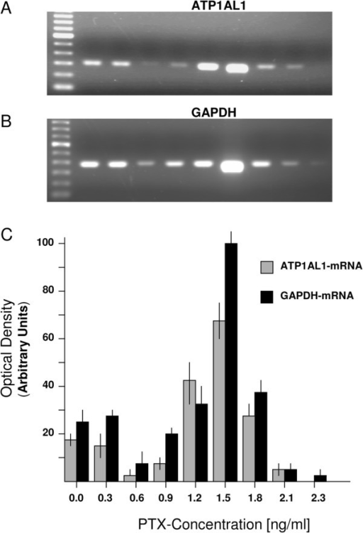 ATP1AL1- and GAPDH-gene expressions in UKHN-2 cells. (A and B) Expression profiles of the ATP1AL1- and GAPDH-genes during exposure of the tumor cells to PTX of different concentrations. (C) Densitometric measurements of the relative gene expression detected by RT-PCR. Data represent mean ± SDs of triplicate measurements.