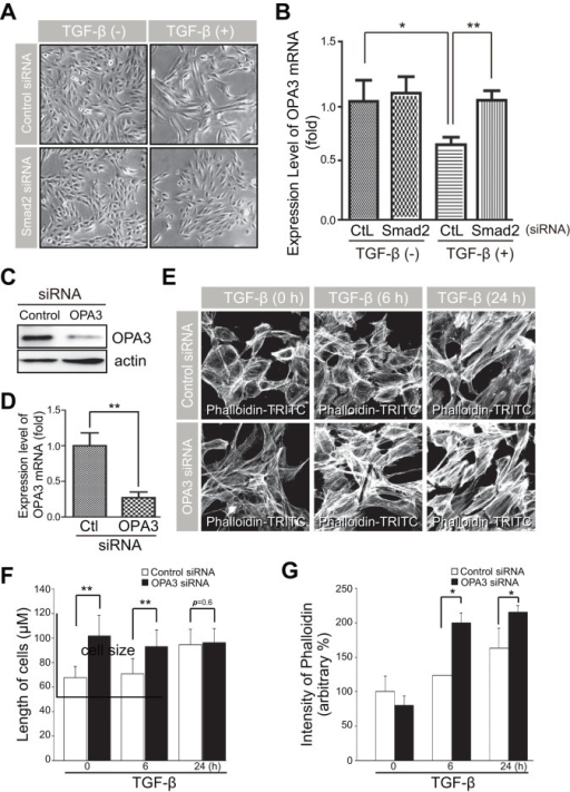 Knockdown of OPA3 induced changes in cell morphology and sensitized cells to F-actin rearrangement induced by TGF-β.(A and B) Effects of Smad2 on changes in cell morphology and OPA3 level by TGF-β treatment. (B) APRE-19 cells were transfected with Smad2 siRNA or control siRNA. Forty-eight hours after transfection, cells were incubated in the absence or presence of TGF-β for 48 h. Cells were analyzed with phase contrast microscopy (A). Real-time PCR evaluated the level of OPA3 mRNA (B). (C–G) Effects of OPA3 depletion on cell morphology and F-actin rearrangement. APRE-19 cells were transfected with OPA3 siRNA or control siRNA. Forty-eight hours after transfection, cells were treated with TGF-β for the indicated periods of time. Cells were analyzed by Western blotting (C) and Real-time PCR (D). Cells were fixed and stained with phalloidin-TRITC (E). TRITC intensity (F) and Cell lengths (G) were analyzed using confocal images. Data are the mean ± SD of three experiments, each with >50 cells per condition. *P<0.05; **P<0.005.