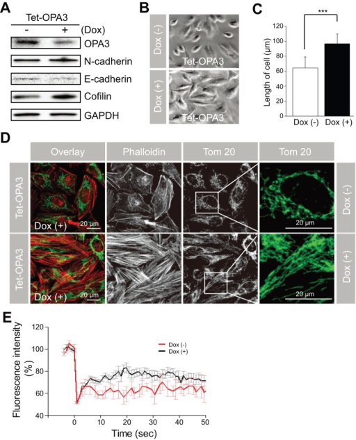 Stable knockdown of OPA3 induced the rearrangement of F-actin and mitochondrial elongation in HeLa cells.(A–D) Effect of OPA3 knockdown on changes in cell morphology. HeLa cells were transfected with an inducible OPA3 shRNA plasmid (Tet-OPA3) and then selected with G418 for 2 weeks. After selection, cells were incubated in the absence or presence of doxycycline (Dox) for 3 days. For Western blotting with the indicated antibodies (A), cells were harvested and then lysed. Cell morphology (B) and cell length (C) was analyzed using phase contrast images. Data are the mean ± SD of three experiments, each with 100 cells per condition. For confocal analysis (D), cells were fixed and stained with anti-Tom20 antibody (green) and phalloidin-TRITC (red). Higher magnification images of the highlighted areas are presented in the panels to the right. For quantification of mitochondrial fusion activity, live cells with mito-YFP were analyzed by photobleaching. Each line represents the mean of >30 measurements. ***P<0.0005.