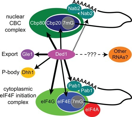 Protein partners of Ded1. Ded1 interacts with the predominately nuclear CBC complex factors, which consists of Cbp20 and Cbp80, and with Nab2. Ded1 also interacts with the predominately cytoplasmic translation-initiation factors, which includes Pab1. We have no evidence that Ded1 interacts with the DEAD-box protein eIF4A, which is part of the translation-initiation complex eIF4F. Moreover, Ded1 interacts with the DEAD-box protein Dhh1, which is often localized in P-bodies in the cytoplasm. It is involved in mRNA decapping and degradation. Gle1 is located on the cytoplasmic side of the nuclear pore, and it is involved in the nuclear export of mRNAs. However, Gle1 also has been implicated in regulating translation. The heavy lines represent interactions determined by physical, genetic and enzymatic approaches, the medium line by physical and genetic approaches, and the medium dotted line by physical and enzymatic approaches. The light dotted line indicates other potential substrates. Interactions were determined by this work and the published work of others (see text).