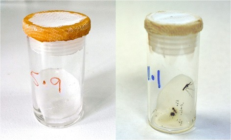A very simple method for inducing egg-laying in wildAnopheles funestusthat consistently results in >70% of the females ovipositing. Glass vials, 45 mm high x 25 mm diameter, with gauze lids are used. Small pieces of filter paper are placed at an angle in the bottom of the tube with approximately 1 ml water for egg laying. Females, resting inside the plastic lids, can be transferred to clean vials once they have laid eggs, facilitating blood-feeding for multiple egg batches.