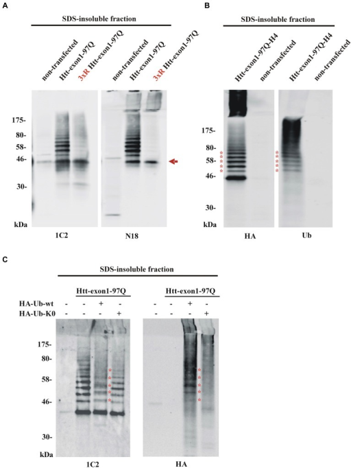Detection of aggregated Htt and its ubiquitinated species. (A) SDS-insoluble fraction of Neuro-2a cell lysate after transient transfection of cells with wildtype or 3xR mutant Htt-exon1-97Q constructs. Formic acid-dissolved aggregates of Htt were detected on western blot by the Htt-specific antibodies 1C2 and N18. Formic acid soluble Htt-exon1 monomer (arrow) and a higher wildtype Htt-specific protein ladder, which is not detectable with 3xR mutant Htt, are shown. Remaining non-dissolved Htt aggregates were trapped in the stacking gel and recognized by the N18 antibody only. (B) Western blot analysis of the SDS-insoluble fraction of Neuro-2a cells transiently transfected with Htt-exon1-97Q-H4. In addition to the monomeric Htt-exon1-97Q-H4 protein a ubiquitin-positive Htt protein ladder (asterisks) is shown by the HA and ubiquitin (Ub) antibody, respectively. (C) Western blot analysis of the SDS-insoluble fraction of Neuro-2a cells transiently co-transfected with Htt-exon1-97Q and the ubiquitin constructs HA-Ub-wt and its lysine-dead mutant HA-Ub-K0, respectively. In addition to the monomeric Htt-exon1-97Q protein a ubiquitin-positive Htt protein ladder is shown by the 1C2 and Ub antibody, respectively. Lysine residue-dependent integration of HA-Ub-wt into the Htt-exon1 polyubiquitination chains is shown by an upward shift of the ubiquitin-modified Htt bands at the size of the ubiquitin N-terminal HA-tag (asterisks).