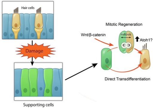 Model of potential roles of active Wnt signaling in hair cell regeneration. Schematic broadly depicting hair cell damage can activate supporting cells to proliferate and regenerate lost hair cells (mitotic regeneration), or to directly acquire a hair cell fate. Wnt/β-catenin signaling can increase mitotic regeneration by promoting cell cycle re-entry and also possibly by increasing Atoh1 expression.