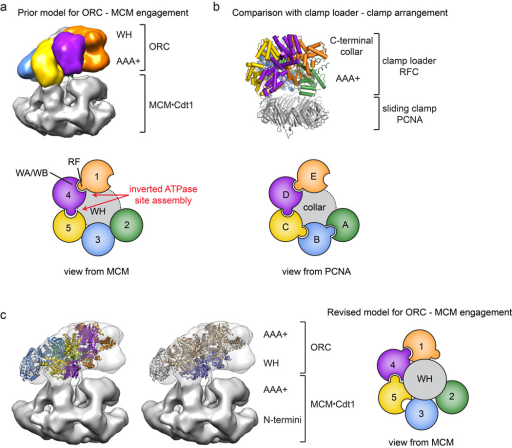 "Docking of the ORC structure into the cryo-EM structure of an S. cerevisiae replication initiation intermediate indicates that ORC recruits the MCM2-7 complex by binding to the ORC winged-helix (WH) domains. A prior model for ORC•MCM2-7 engagement24, proposed from an ORC•Cdc6•Cdt1•MCM2-7 cryo-EM structure generated in the presence of DNA (shown in (a), EMD-562524), used the crystal structure of replication factor C (RFC) bound to the sliding clamp PCNA (shown in (b), PDB code 1SXJ31) to suggest that ORC's AAA+ domains engage the MCM2-7•Cdt1 complex. However, using the handedness of the EM volume as reported24, this organization of ORC subunits leads to an inverted ATPase site assembly, requiring that the Orc4 arginine finger (which is known to stimulate Orc1 ATP hydrolysis33) points toward the Orc5 nucleotide-binding site rather than the appropriate Orc1 active site. Schematics for the ATP site assemblies of ORC and RFC derived from these structures are shown in the lower panels in (a) and (b). The location of the WH domain collar of ORC and the C-terminal collar of RFC is indicated by a gray circle (WA – Walker A, WB – Walker B, RF – arginine finger). c) Docking of the ORC crystal structure (with Orc1 in its remodeled or ""activated"" conformation) into the cryo-EM map shown in panel (a) reveals that the WH domains of ORC face an MCM2-7 complex. This switched polarity of WH domains and AAA+ domains in the EM map corrects the ATPase site assembly and is schematized in the right panel."