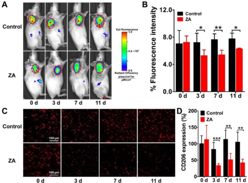 Longitudinal in vivo NIRF images (A) and quantified tumor uptake (B) of 4T1 tumor-bearing mice at 24 h after Dye-anti-CD206 injection on days 0, 3, 7, and 11 after zoledronic acid (ZA; 150 μg/kg in PBS daily for 7 days) or PBS treatment (control). Tumors are indicated by the dashed circles. (C-D) Immunofluorescence staining (C) and quantified integrated optical density (IOD) expressed in relative percentages (D) of murine CD206 in 4T1 tumor tissues on days 0, 3, 7, and 11 after ZA or PBS treatment. *, P <0.05; **, P <0.01; ***, P <0.001.