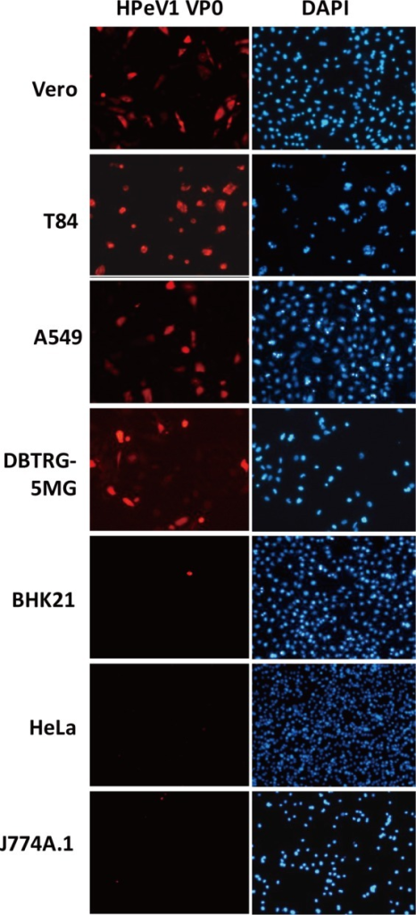 Cell tropism of HPeV1.Vero, T84, A549, DBTRG-5MG, BHK21, HeLa and J774A.1 cells at2×105 were infected with HPeV1 for 6 h atmultiplicity of infection (MOI) = 1; HPeV1 VP0 was detected byimmunofluorescence assay with anti-VP0 antibody; images show the redfluorescence of VP0 staining in susceptible cell types. DAPI stainingindicated cell nucleus.