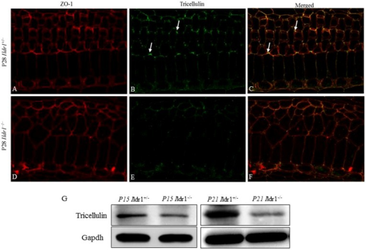 Expression of tricellulin in tight junctions was decreased in Ildr1−/− mice.(A–F) Immunofluorescence of the organ of Corti from the middle turn of P28 mice using tricellulin and ZO-1 antibody. Arrows in B,C show the localization of tricellulin in the tricellular tight junctions. (G) Western blot analysis of tricellulin in the basilar membrane at P15 and P21 Ildr1+/− and Ildr1−/− mice. Gapdh was used as a loading control.