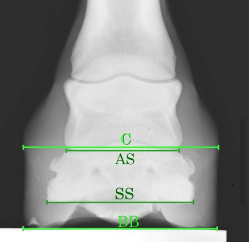 Measurements used to examine the effects of the AHS.C, coronary band width of the foot; AS, articular surface width of P III; SS, solar surface width of P III; BB, bearing border width of the foot.