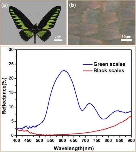 The macroscopic morphology of the butterfly wings and the reflectance spectroscopy of black and green region of the butterfly wings. a Photograph of butterfly Trogonoptera brookiana. b Optical microscopic image of the black butterfly wing scales. c The lower reflectance of the black wing scales was confirmed in the entire wave range