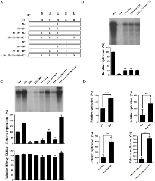 rtL269I substitution enhances the replication of both WT and drug-resistant hepatitis B virus (HBV).(A) Schematic diagram of each HBV mutant construct used in this study. (B–C) Effect of mutations at positions 204, 173, 129, 337, and 269 on HBV DNA replication. Huh7 cells cultured in six-well plates were transfected with HBV plasmids. HBV DNA levels were analyzed by Southern blotting. HBeAg in culture supernatant was determined by ELISA. (D) Phosphor-imager analysis of the relative replication capacities of the HBV mutants. The standard deviation from three independent experiments was calculated (**, P < 0.01; ***, P < 0.001).