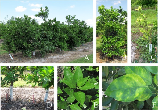 A) A set of transgenic trees with the AtNPR1 construct, B) Close-up of an HLB positive transgenic tree with the AtNPR1 construct, C) A heavily infected HLB positive control tree, D) 2 feet spacing between two adjacent trees in our field plot. Normal citrus trees are usually planted at an 8 feet spacing or more, E) Close-up of a healthy flush, F) Close-up of an HLB infected leaf.