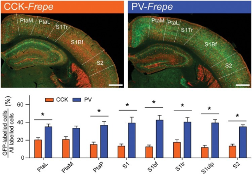 Abundance of PV-GABA cells in the parietal cortex. (Top) Sections of the intermediate parietal cortex from CCK- and PV-Frepe mice. (Bottom) Relative contribution of CCK- and PV-GABA cells to the total GABA neuron population by subregion of the parietal cortex. PV-GABA cells were comparatively more numerous in every subregion but the PtaM. Abbreviations: PtaL, lateral parietal association area, PtaM, medial parietal association area, PtaP, posterior parietal association area, S1, primary somatosensory area, S1bf, somatosensory area (barrel), S1tr, somatosensory area (trunk), S1ulp, somatosensory area (upper lip region), S2, secondary somatosensory area. Significance at the p < 0.05 level is denoted with an asterisk. Scale bar = 500 μM.