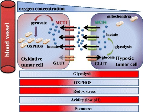 Metabolic symbiosis between oxidative/aerobic tumor cells and hypoxic/glycolytic cells. Tumor heterogeneity induces a lactate shuttle between hypoxic and oxidative cancer cells. While MCT4-positive hypoxic cells contribute to formation of an acidic microenvironment by aerobic glycolysis and secretion of lactate, MCT1-expressing oxidative cells utilize lactate as a substrate of the TCA cycle, and consequently exhibit stem-like characteristics. Notably, in contrast with MCT1-positive cancer cells, glucose uptake is robust in MCT4-expressing cells
