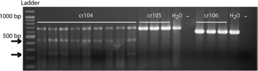 Comparison of the activity of the different guide RNAs (gRNAs).Three gRNAs (cr104, cr105, cr106) were co-injected with the Cas9 protein in different egg batches (9 batches illustrated for cr104 and 3 batches illustrated for each of the two other guides). Batches of emerging larvae were genotyped by the T7EI assay following genomic DNA extraction and PCR amplification of an Orco fragment (for fragment sequences and primers, see Fig. 1). DNA modification could be obtained only for cr104 and in all egg batches, as revealed by the gel pattern: the highest band corresponds to the wild type gDNA amplification and the two small bands (arrows) result from T7EI action. Water injected larvae (H2O) and no template (−) controls are shown for each primer combination. The ladder used is the Quick-load 2-Log DNA Ladder (0.1–10.0 kb, BioLabs).