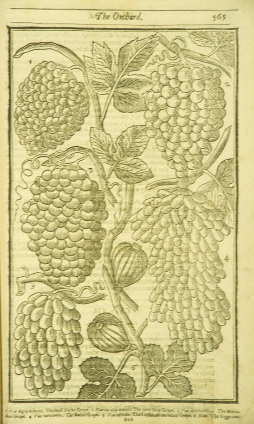 <p>Woodcut illustration of six types of grapes.</p>