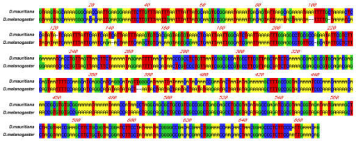 Nucleotide alignment of the 659 bp intron 1 of the Adh gene in Drosophila melanogaster and Drosophila mauritiana. Sequences obtained through GenBank for D.melanogaster (accession: X60793, [20] and D.mauritiana (accession: M19264, [21]). Sequences were aligned using MacVector (See Materials and Methods for details).