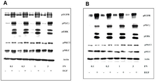 Immunoblotting data for EGF treatment of 5 minutes (A) and 1 hour (B) across different fibronectin concentration of surfaces. Tissue culture plates were coated with different fibronectin (FN) concentrations. NR6WT cells were grown on these surfaces for 24 hours in complete growth medium and quiesced for another 24 hours in medium containing 0.5% dialyzed FBS. EGF was added for a period of 1 hour, cells washed once with PBS and lysed. Cell lysates were resolved using SDS-PAGE and immunoblotted using specific antibodies for various phosphorylated proteins. At least 5 replicates for each signaling protein were created for polynomial modeling. Actin served as a loading control.