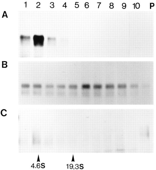 Aggregation and degradation of Hsp150Δ–β-lactamase  in the absence of Lhs1p. The same experiments as described in  the legend of Fig. 2, A–C, were performed using strain H621  (lhs1− sec18). B and C were exposed five times longer than A.  The sedimentation of BSA (4.6 S) and thyroglobulin (19.3 S) is  indicated at the bottom.